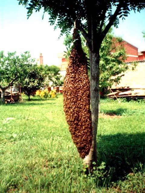 Il miele - Diversi tipi di api ...
